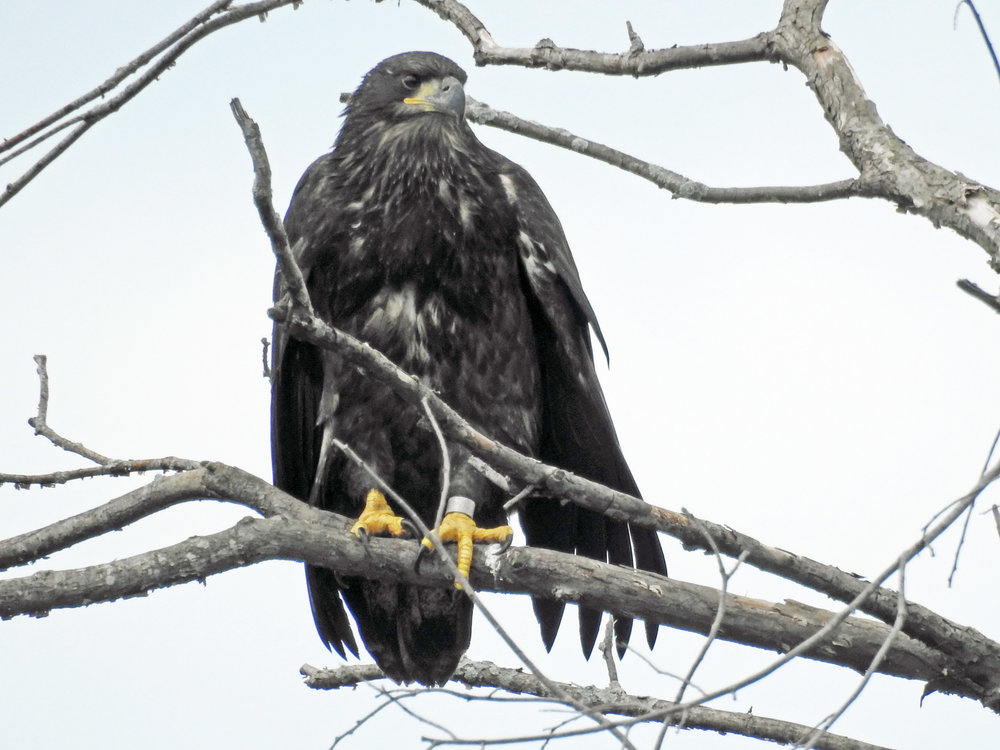 This picture of a young eagle sitting in a tree across the road from its nest was taken by Bob Kuhn on June 27, 2016, at 10:58 a.m.