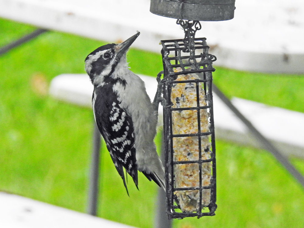 This picture of a hairy woodpecker feeding on a suet feeder outside our kitchen window was taken by Bob Kuhn on August 25, 2016, at 8:22 a.m.