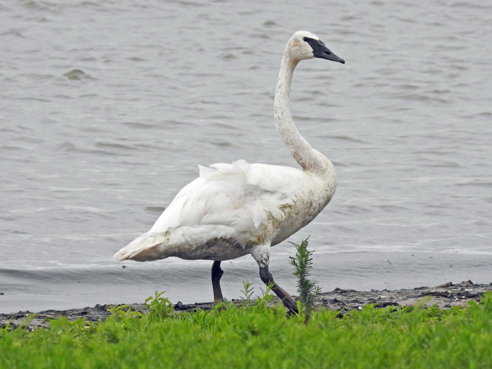 This picture of a trumpeter swan walking along Algoma's harbor was taken from the Youth Club parking lot by Bob Kuhn on August 3, 2017, at 8:33 a.m.