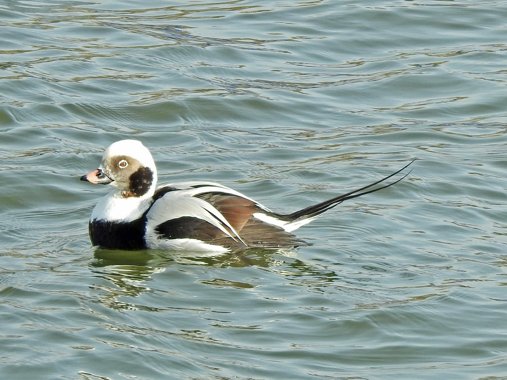 This picture of a long-tailed duck swimming on the Ahnnapee River in Algoma was taken from the Christmas Tree Ship Point parking lot by Bob Kuhn on November 13, 2017, at 9:36 a.m.