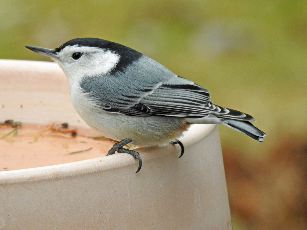 This picture of a white-breasted nuthatch sitting on the heated birdbath outside our kitchen window was taken from our kitchen window by Bob Kuhn on December 6, 2017, at 12:44 p.m.