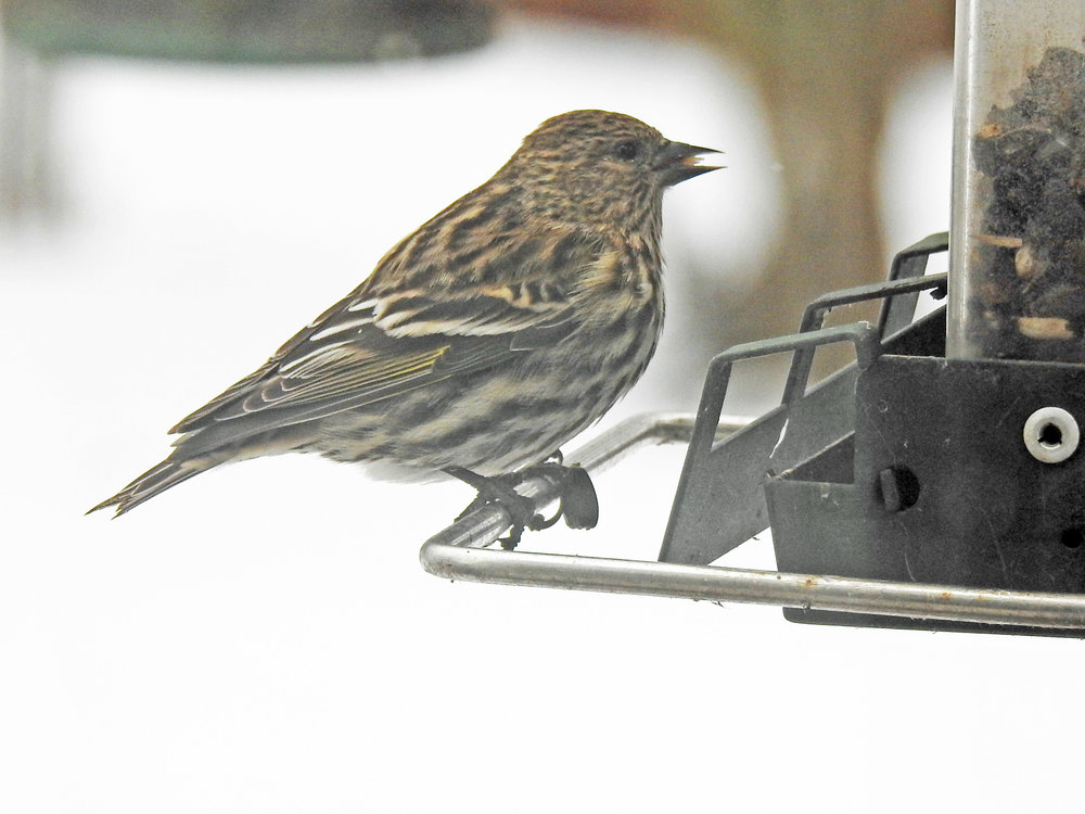 This picture of a pine siskin feeding on one of our bird feeders was taken from our kitchen window by Bob Kuhn on December 22, 2017, at 12:47 p.m.