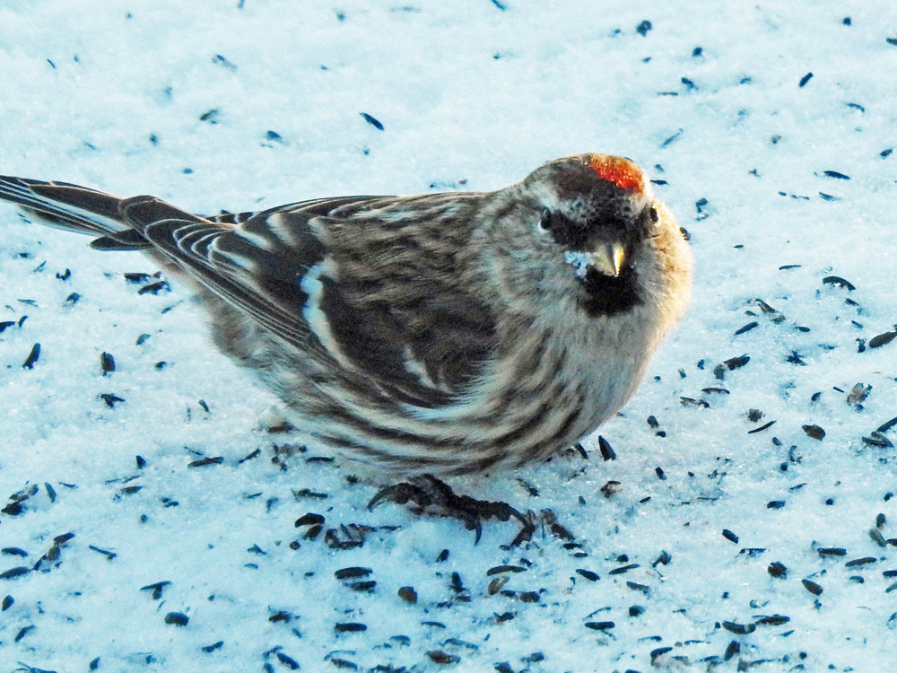 This picture of a common redpoll feeding on the ground beneath our bird feeders was taken from our kitchen window on December 25, 2017, at 3:48 p.m.