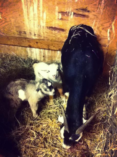 First goat kids of 2015, Athena, and Hawthorne, with mom, Samantha. January 19 2015