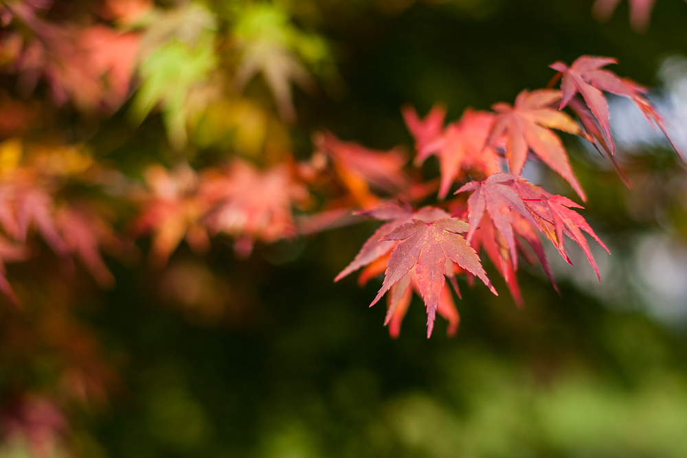 Japanese maples are probably my favorite trees.  I love how their colors will range from deep red to bright orange to a vivid green.