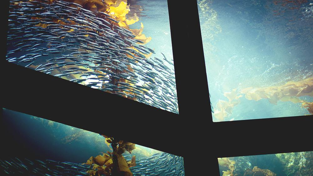 School of fish at Monterrey Bay Aquarium