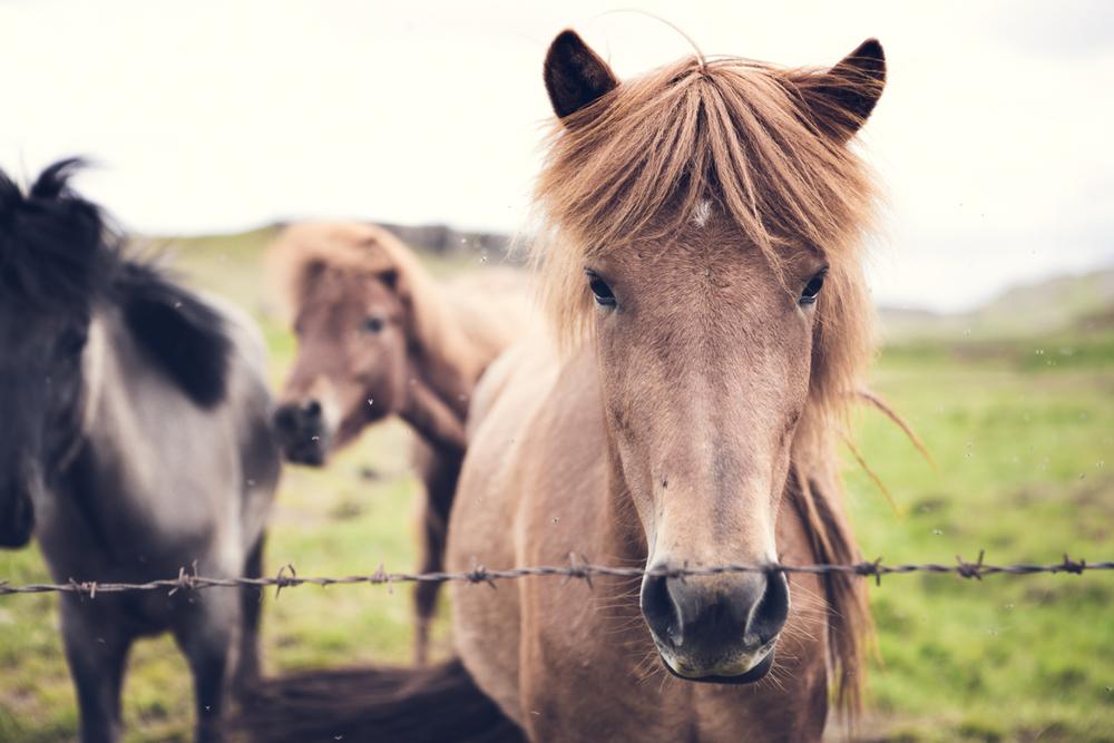 iceland_horses