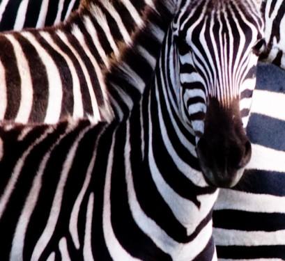 zebra_stripes_1_of_1_medium