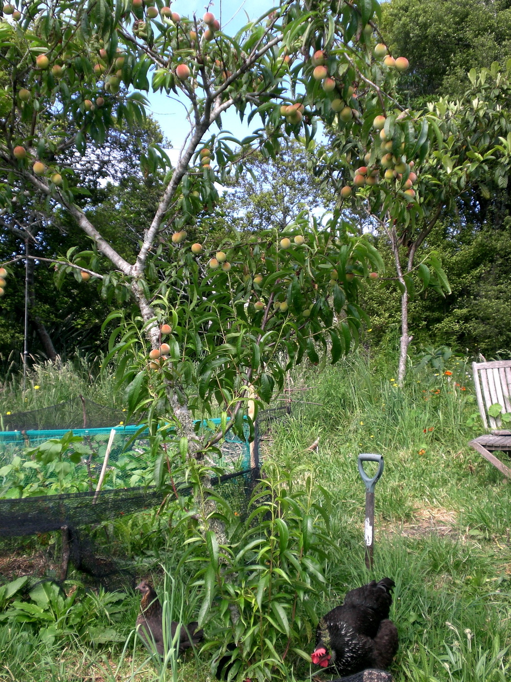 Peach tree with chicken and comfrey