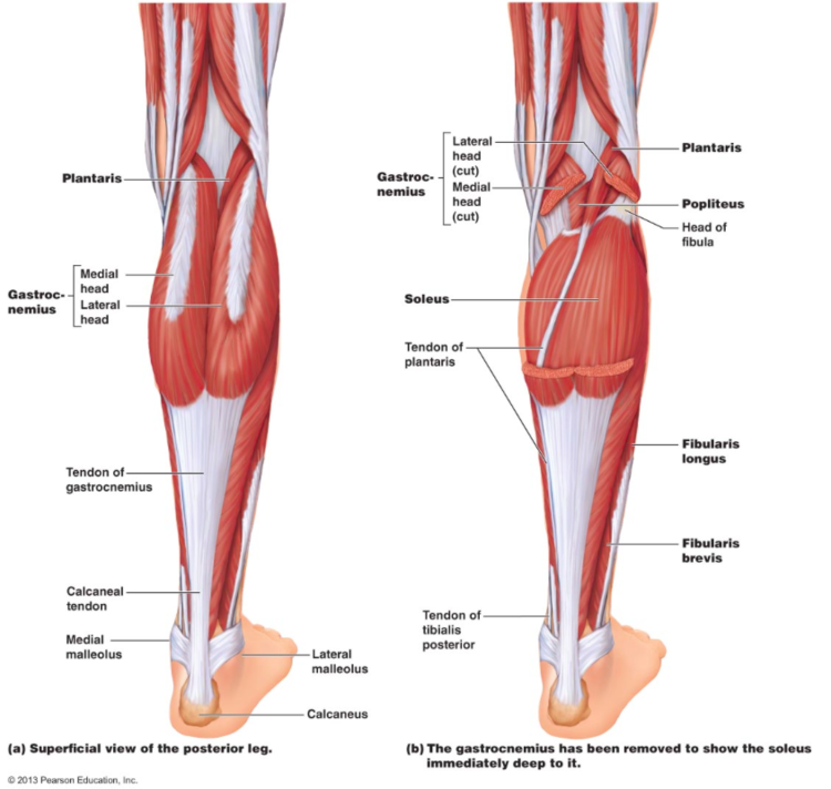 calf muscle tightness, achilles tendon length and lower leg injury, Skeleton