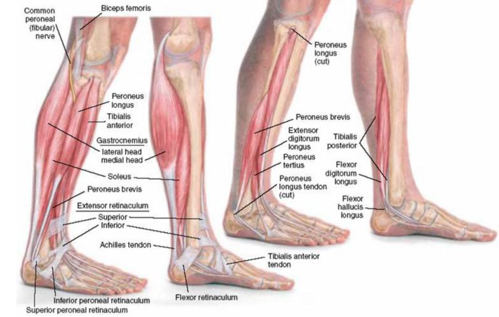 Developing Strength & Stability in the Foot, Ankle, and Lower Leg ...