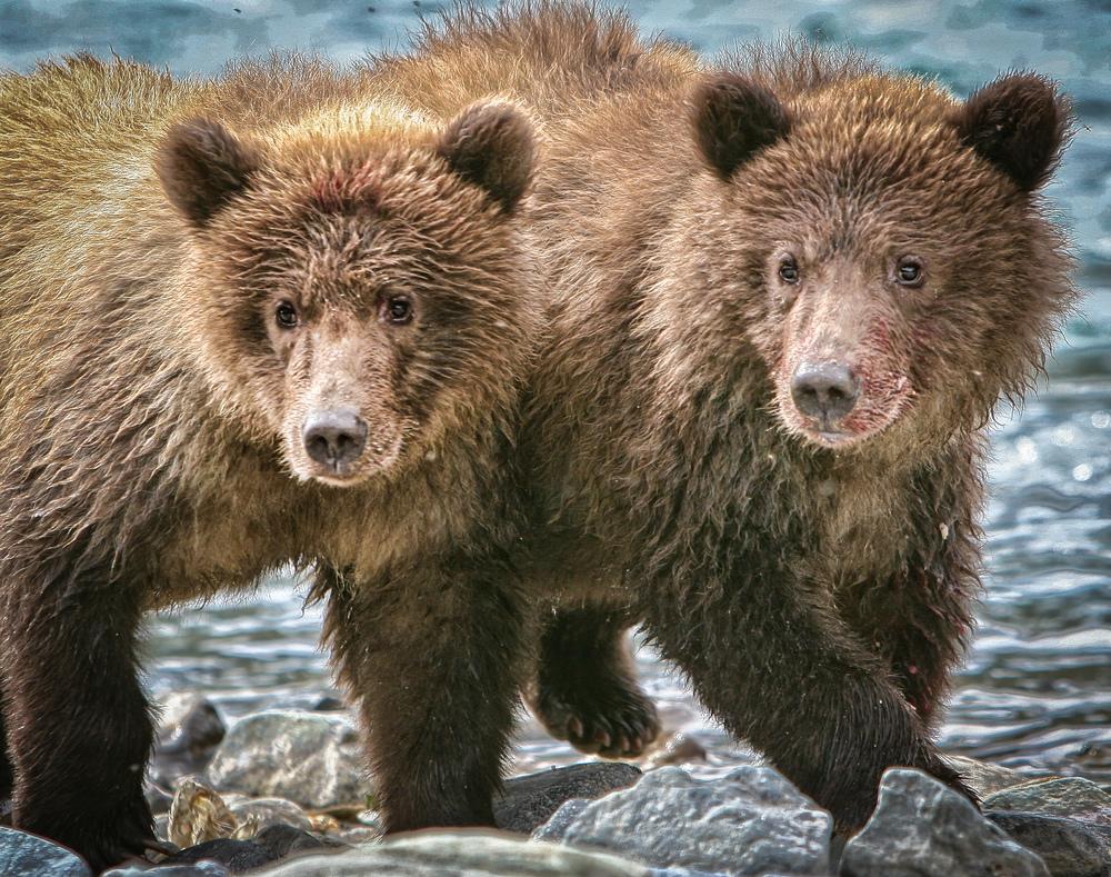 Alaska Bears-122.jpg
