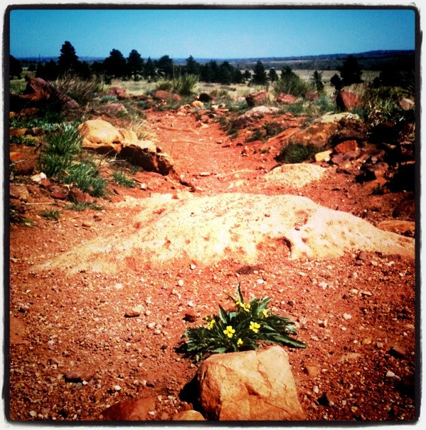 Flowers For Micah - On April 6, 2012, I ran my favorite trail, the Bluestem-Mesa Loop, in honor of Micah True. I found these pretty flowers right smack in the middle of the trail. Had to stop to cry, until a gust of wind nudged me forward that I had to start running again. - Natasha
