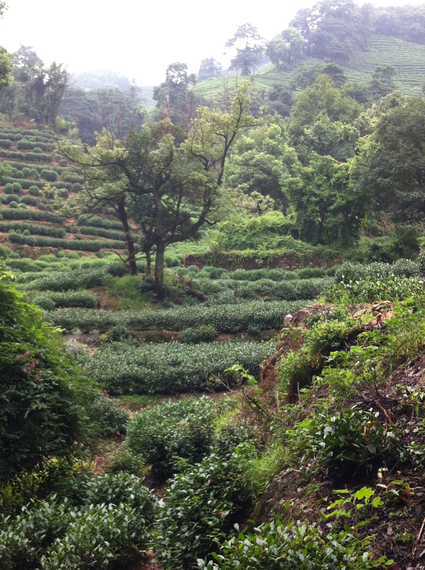 Tea terraces at Longjing 2