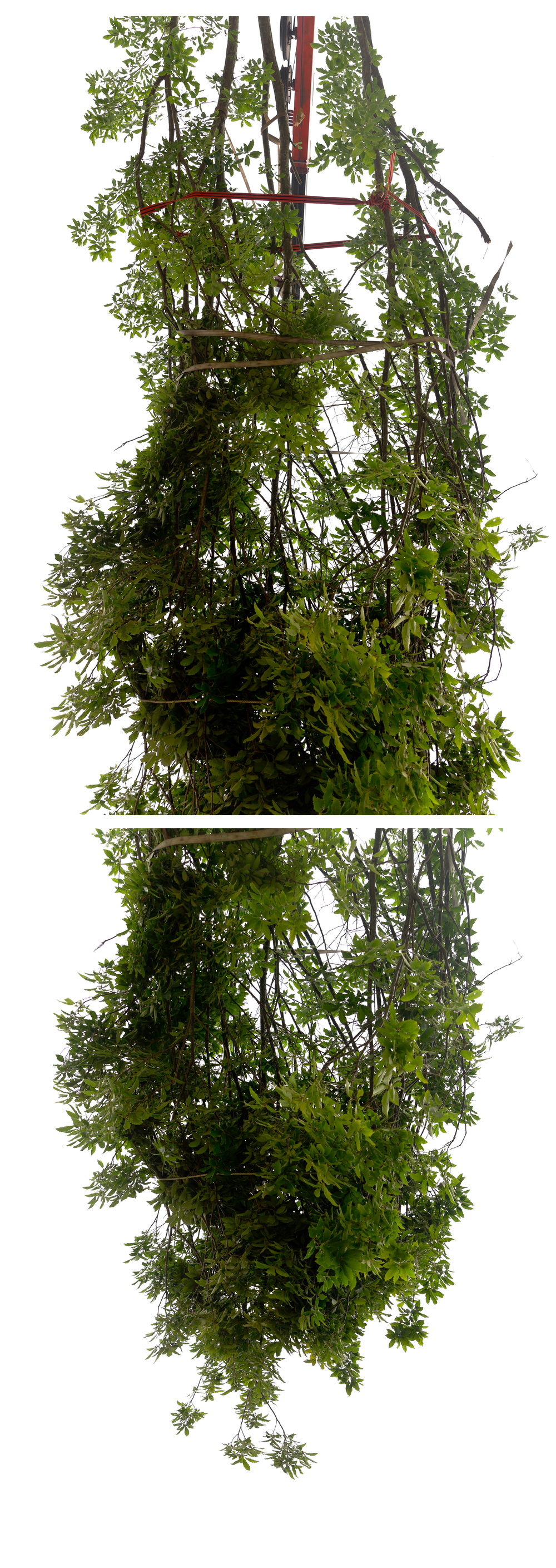 Suspended / Bound Tree   Diptych, 2 photographic prints, 44 x 60 inches each (152.5 x 111.75 cm), 2016. © Andrew Wright