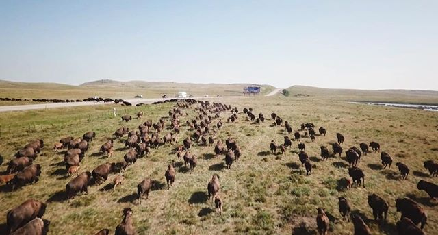 First time using a drone to follow a herd of stampeding bison!  @inhabitantsfilm  When the Bison or Iinni are moved between pastures on the Blackfeet Nation the 600 head herd gallops together into a small stampede whose sight and sound gives a taste of what the North American plains once were. This is a screen grab from some epic drone footage we got following the herd!  #bison #stampede #buffalo #montana
