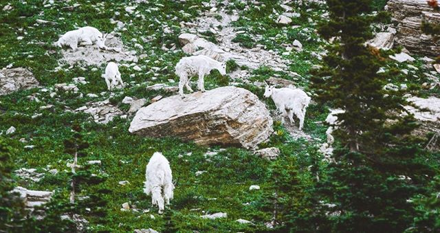 OG (original goat) . . #mountaingoat #glaciernationalpark #wild