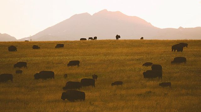 @inhabitantsfilm  Our last night in Montana we got one last visit with the Blackfeet Tribe's Bison grazing across the sunset with the Rockies behind them. After an amazing two weeks with the Blackfeet tribe learning about their bison or Iinni restoration initiative we are sad to leave this incredible landscape. We plan to return in the late fall to document the harvest and youth education. . . .. .. #bison #montana #sunset #rockymountains #glaciernationalpark #mountains #mammals #pleistocene #wild #rewilding #sustainability #native #nativeamerican