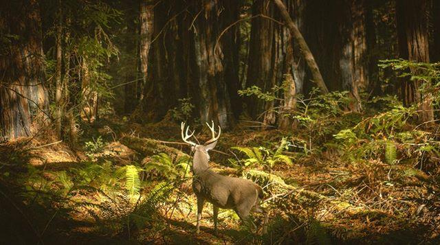 king of the redwoods . . . . #redwoods #blacktailbuck #blacktaildeer