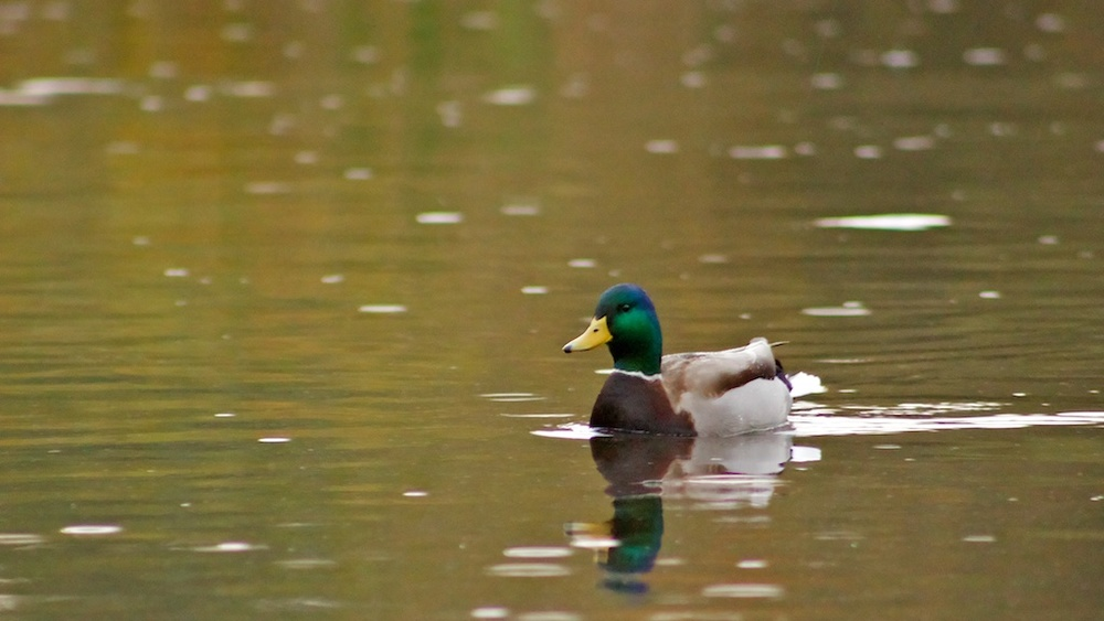 Rainy Day Duck.jpg