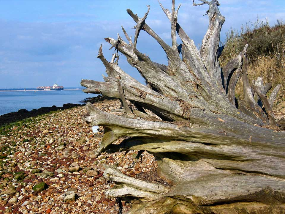This old tree is laying here due to the coastal erosion occurring all round this area. Gurnard near Cowes, England, United Kingdom