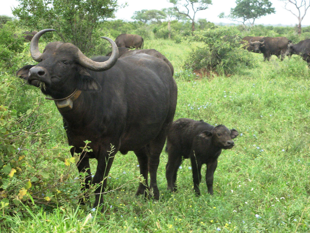 Flickr/bartolomeo - African Buffalo like these were nearly wiped out as a species in the Rinderpest epidemic in the 1890's. But thanks to the efforts of UN scientists, Rinderpest was eradicated in 2010.