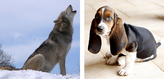 At every point in that development from wolves to dogs you can be sure highly intelligent selective breeding was involved.