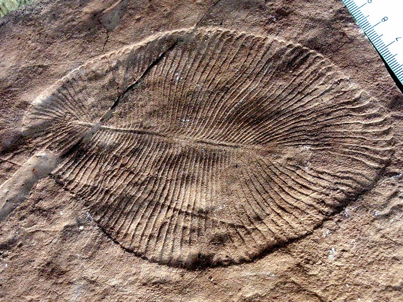 Dickinsonia costata , an iconic Ediacaran organism from the Cambrian period.