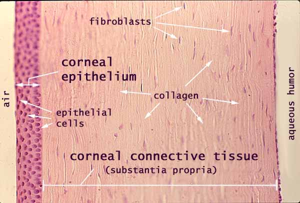 Anatomy of the cornea