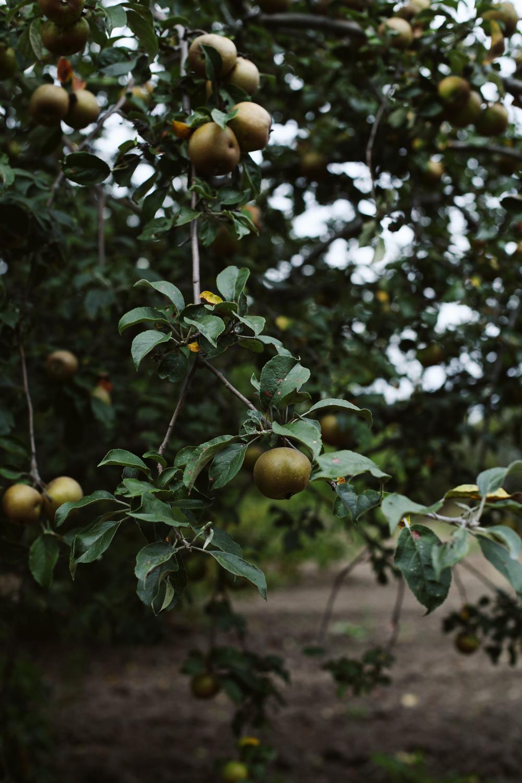Russeted pears | Tara O'Brady