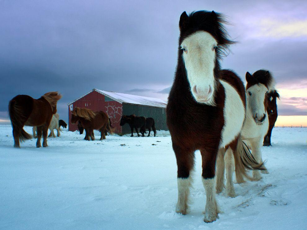 horses-southern-iceland_46570_990x742.jpeg