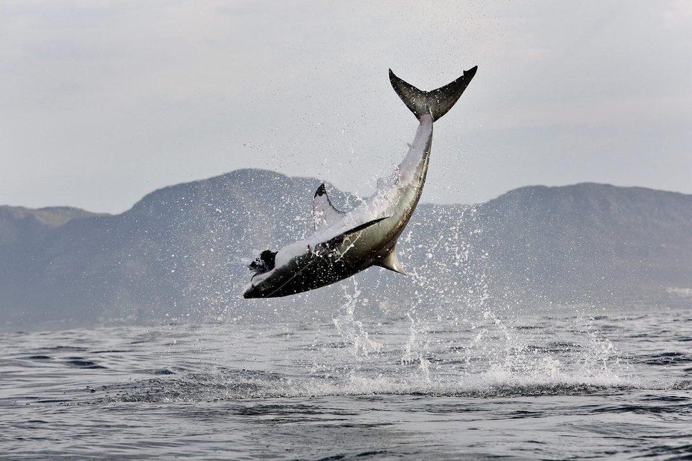 2591_1great_white_shark_scaler_26.jpg