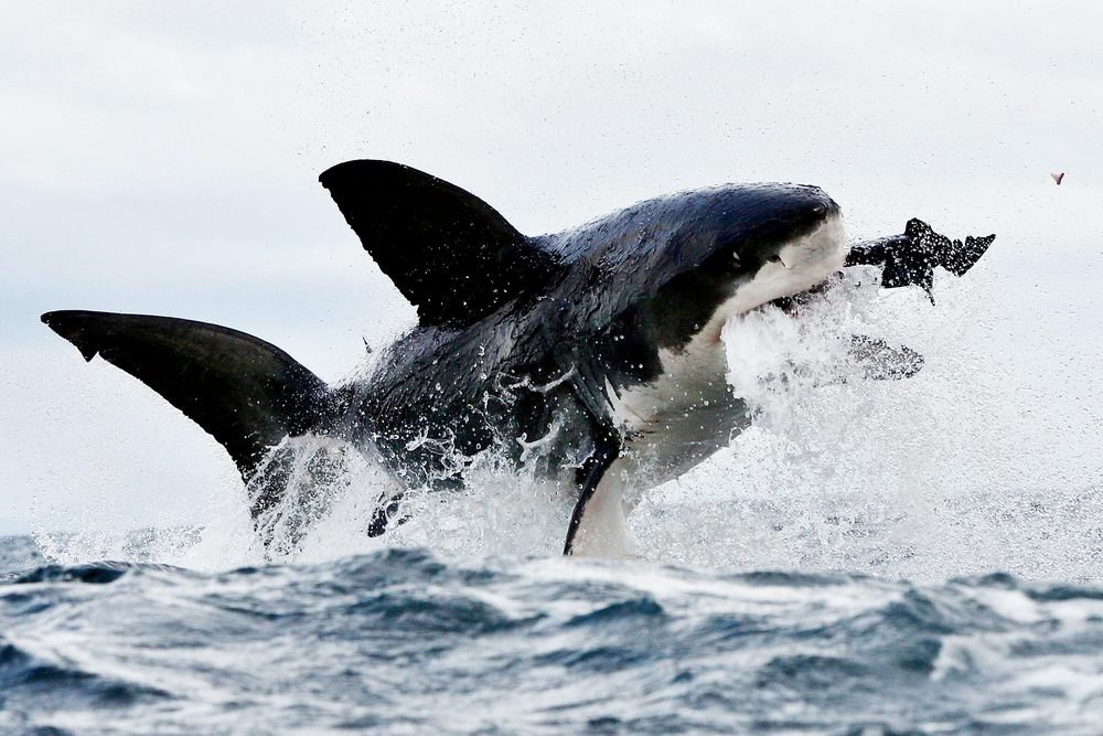 Great-White-Shark-Catching-Seal-HD-Wallpaper.jpg