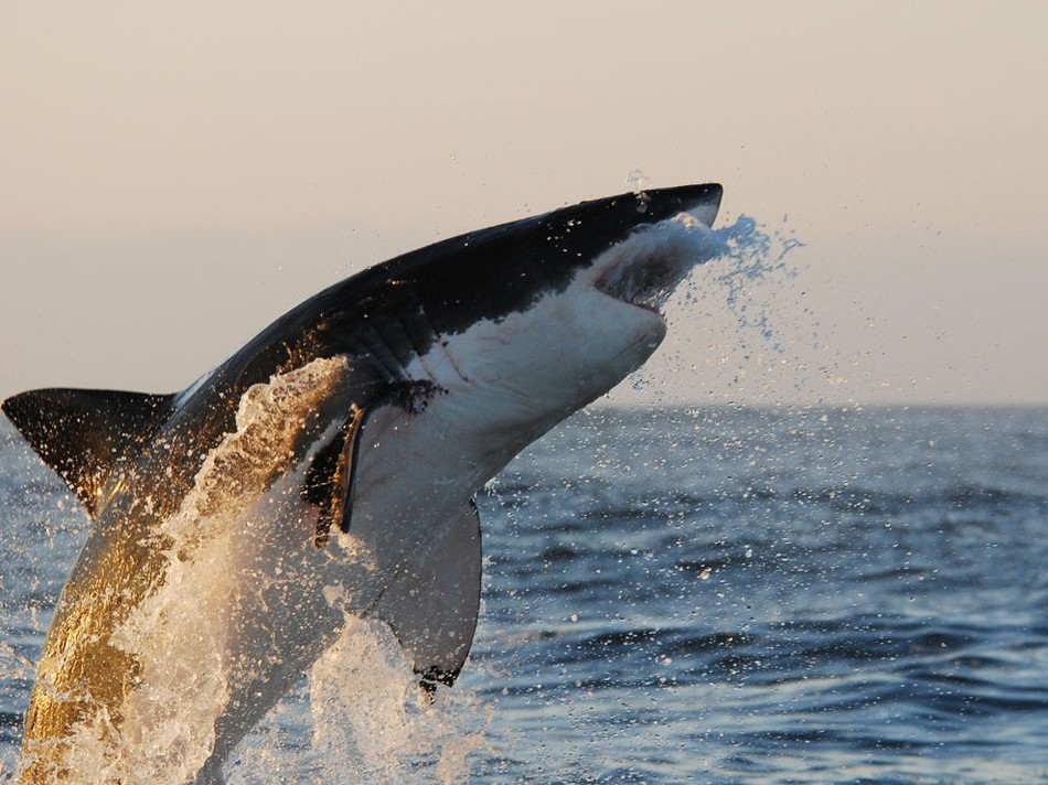 19003_shark-jump_u4otpkuoohegc34cxym6cgqbe3ncurxrbvj6lwuht2ya6mzmafma_950x712.jpg