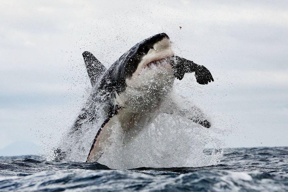 2599_1great_white_shark_scaler_02.jpg