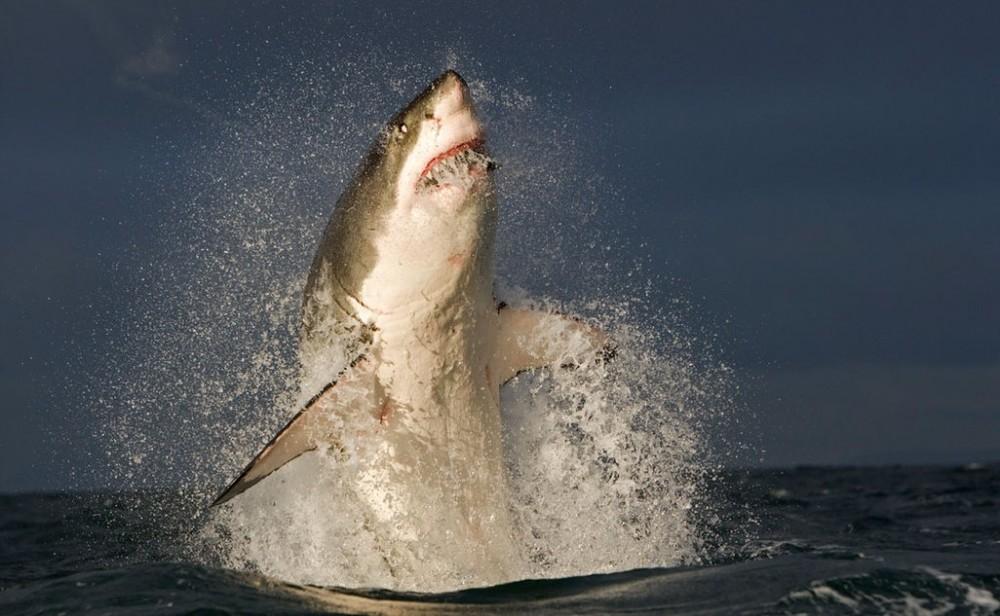 shark-predator-picture_29A2390a-1024x631.jpg