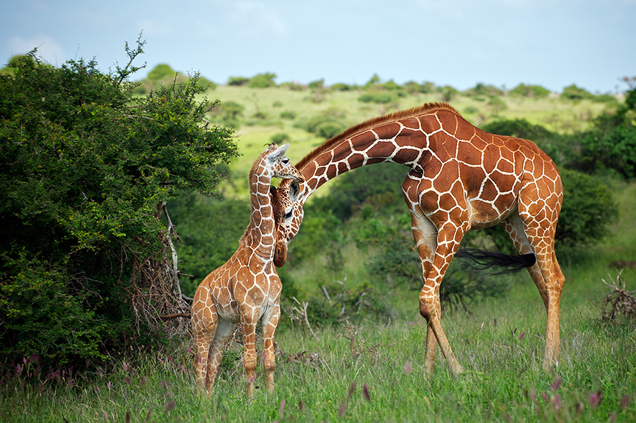 mother_baby_giraffe_3.jpg