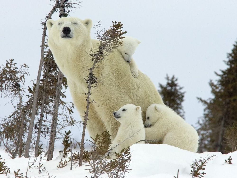 mother-polar-bear-and-cubs-wapusk-national-park-manitoba-canada-1024x7681.jpg