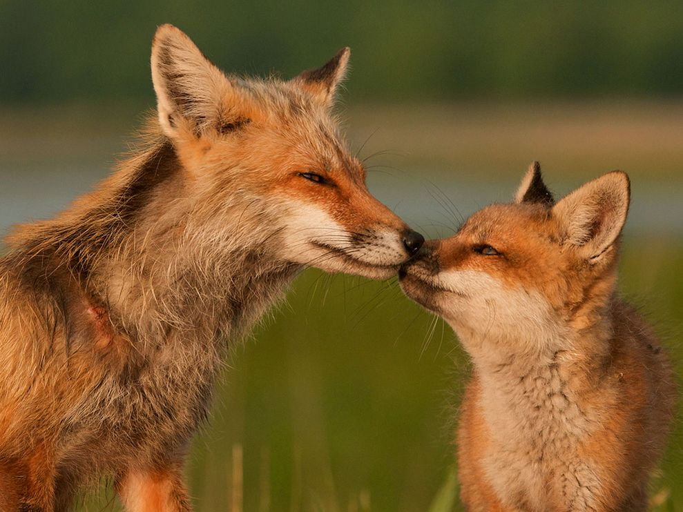 red-fox-mother-pup_12667_990x742.jpg