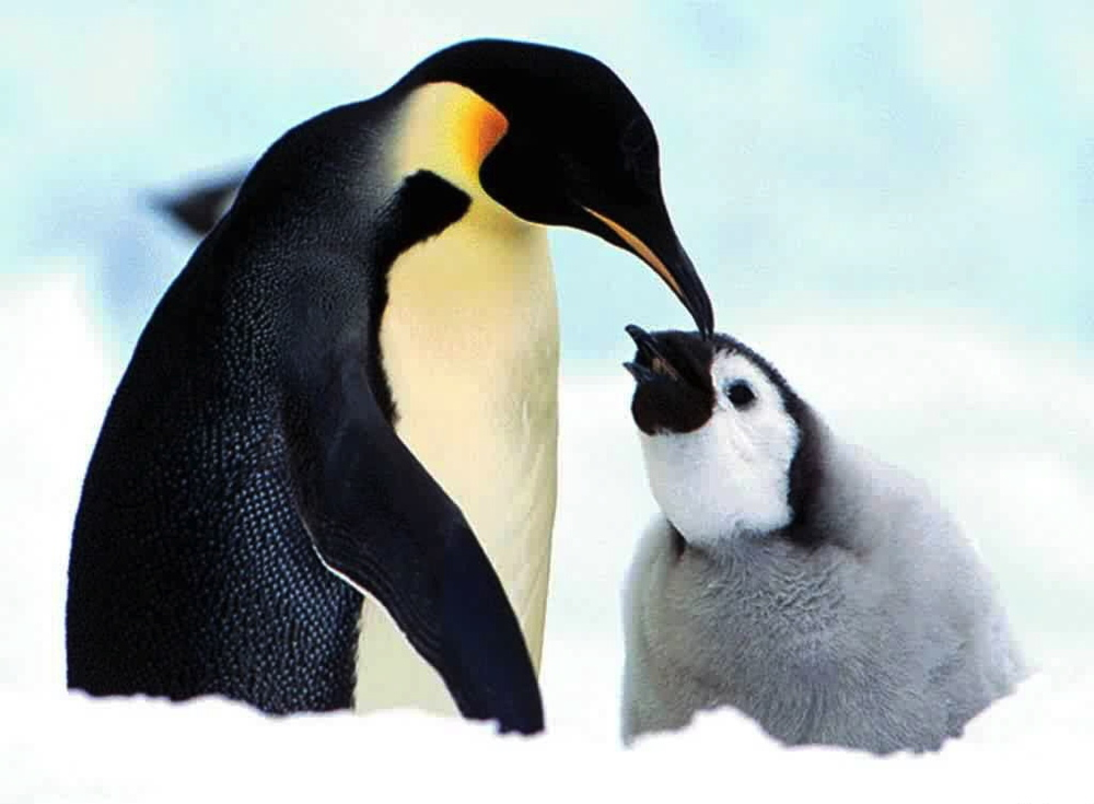 Mother-Penguin.jpg
