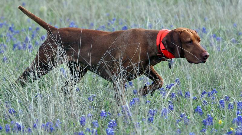Remington_Bluebonnets_cropped_800x446.jpg