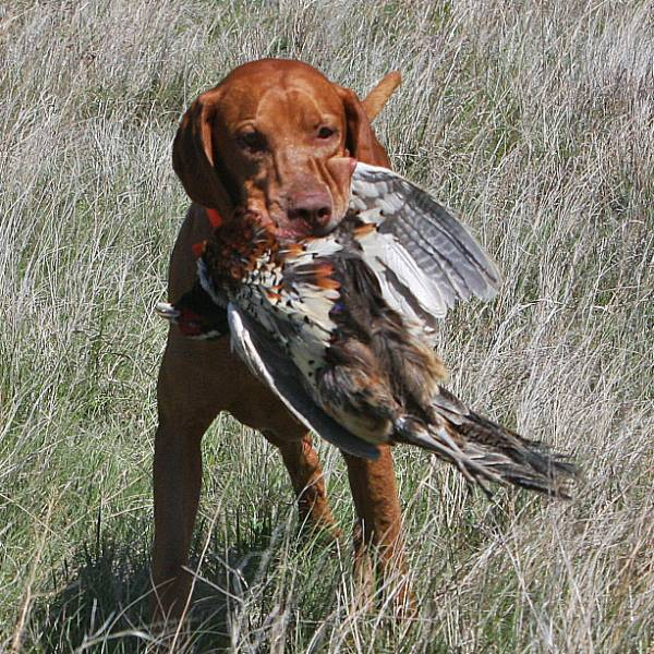 Remington_1st_Pheasant_600x600.jpg