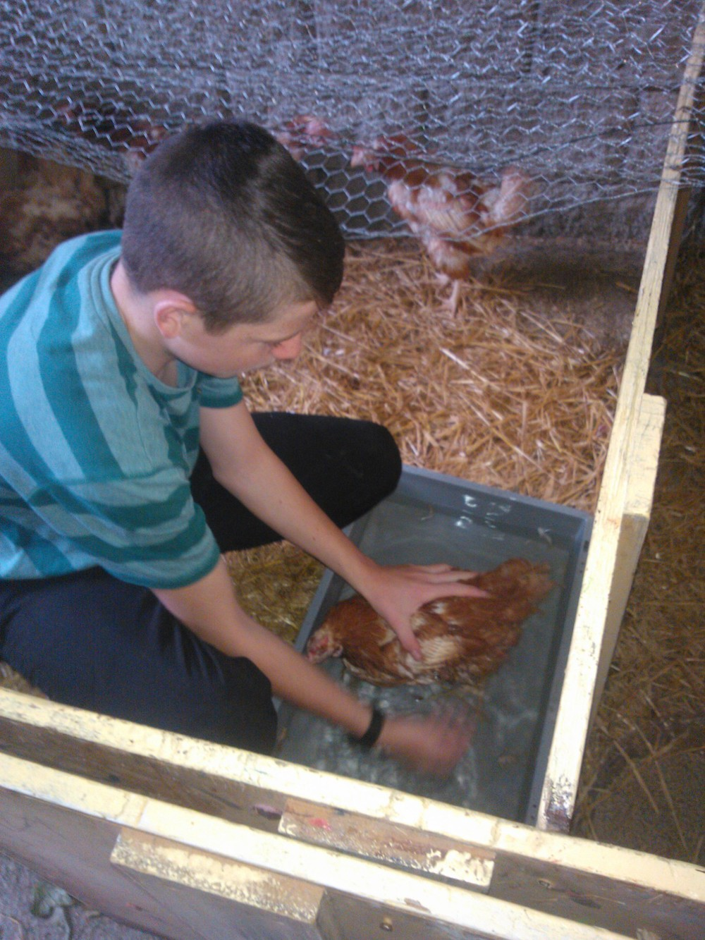 Chickens' First bath. Thanks Nathan!!