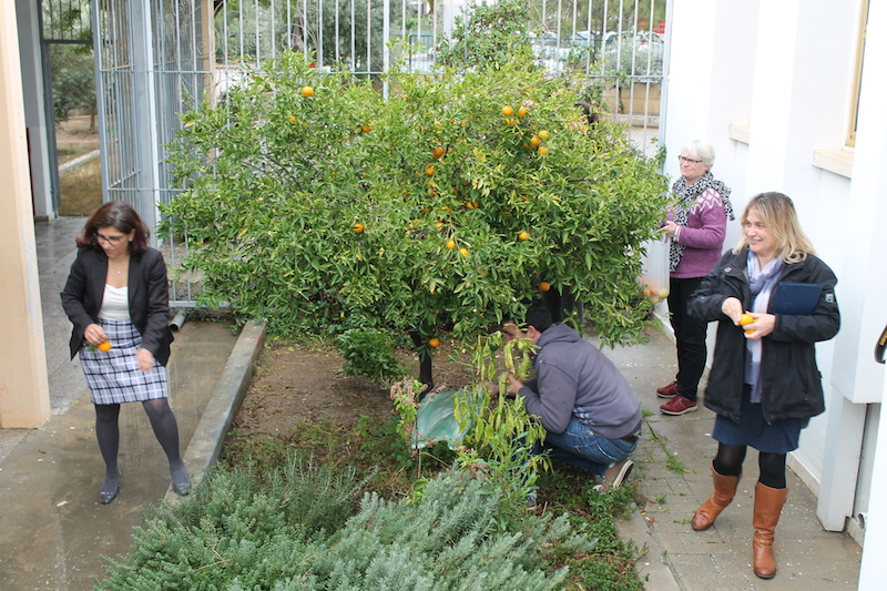 Picking Mandarins in the school yard