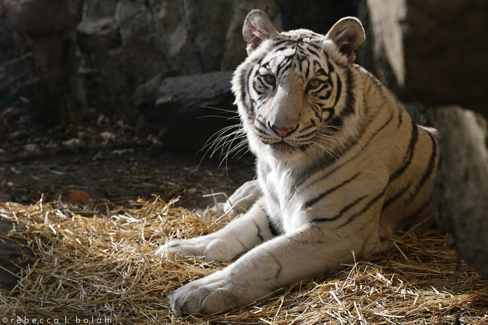 White Bengal Tiger.jpg