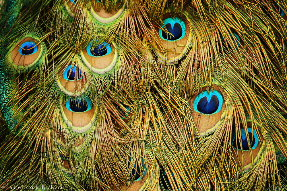 Peacock feathers close up.jpg