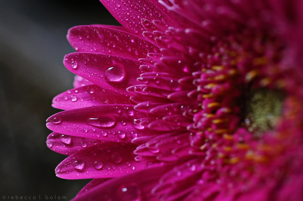 Hot Pink flower water drops.jpg