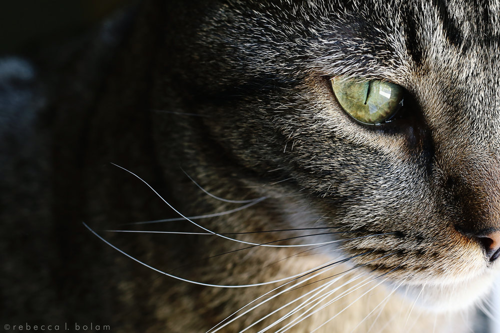 Monk eye and nose and whiskers macro.jpg