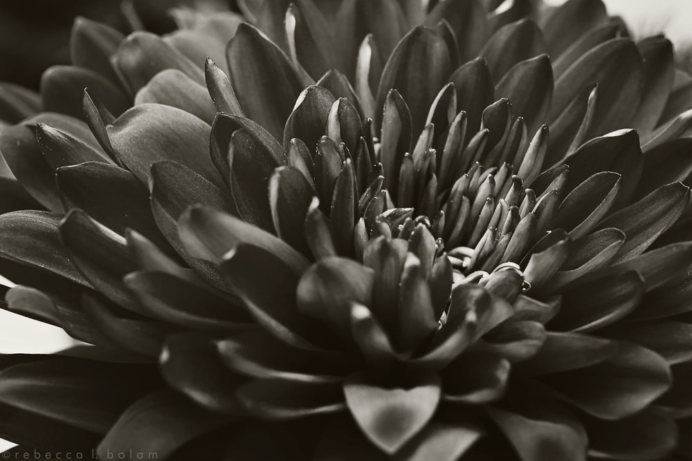 Vintage Black and White Chrisanthemum.jpg