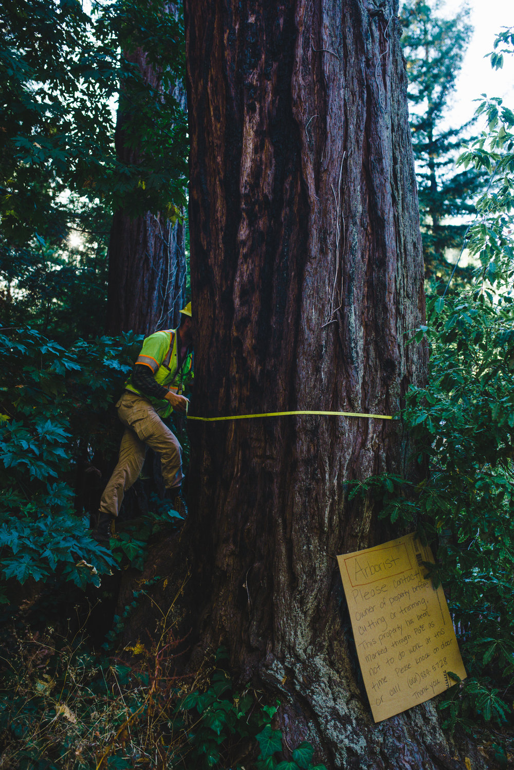 Arborist measures large coast redwood tree, at the request of property owner.  Determines this tree was mis-marked and should not be taken down.